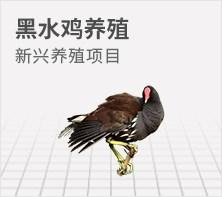 黑水鸡养殖