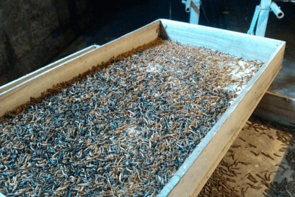 >黄粉虫养殖技术要求高吗?要注意什么